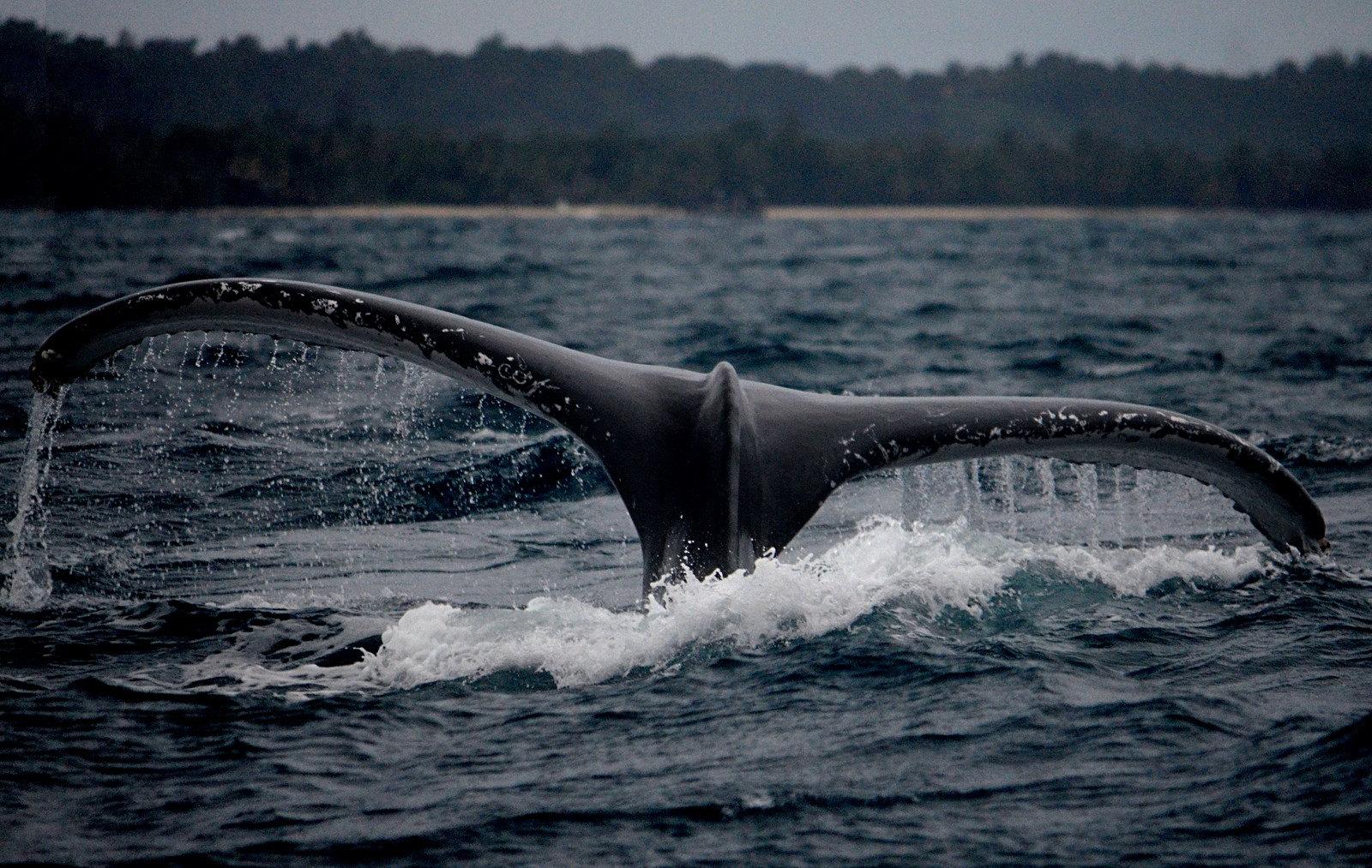 nageoire baleine madagascar