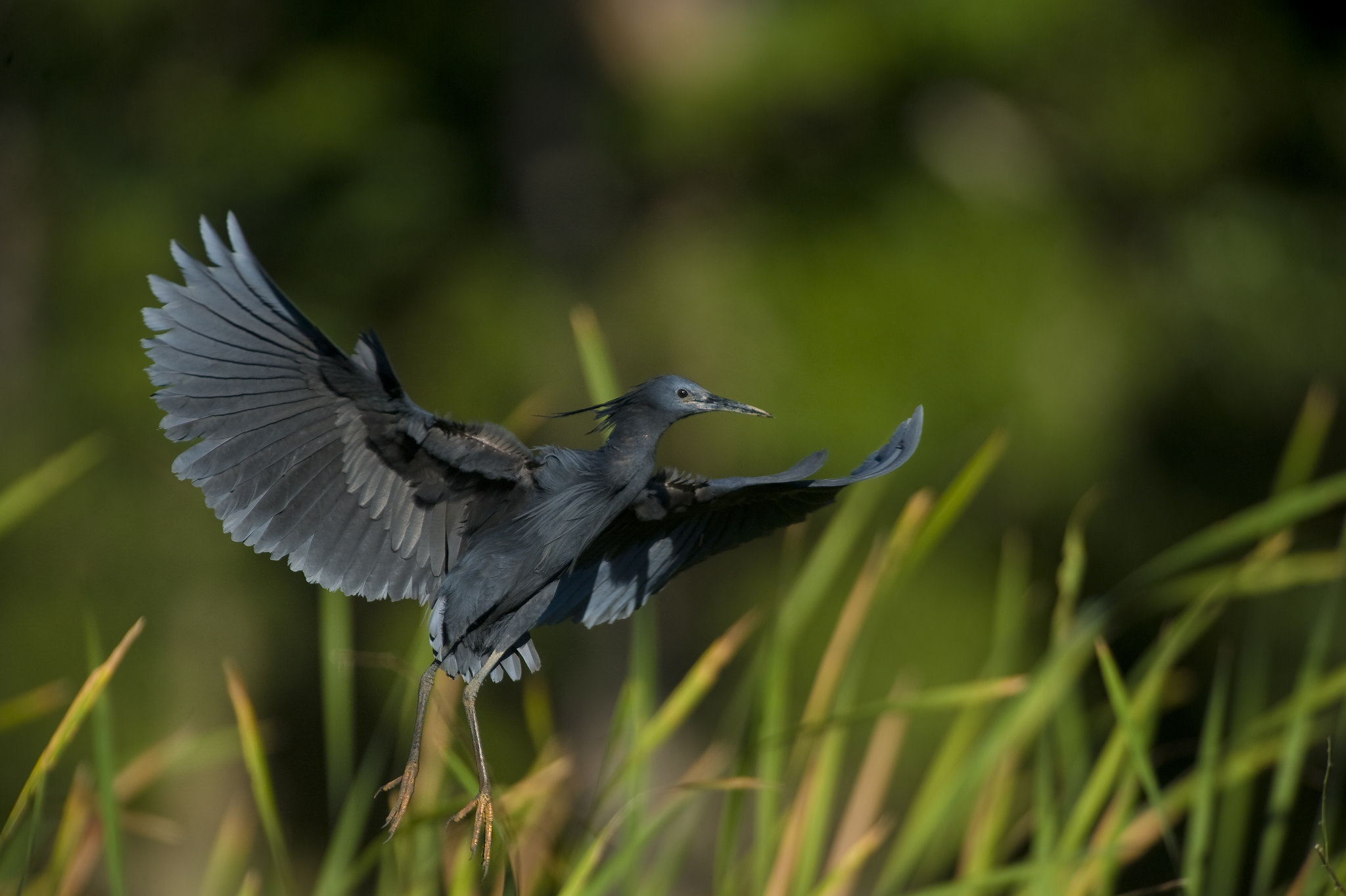 oiseau egret noir ankarafantsika madagascar