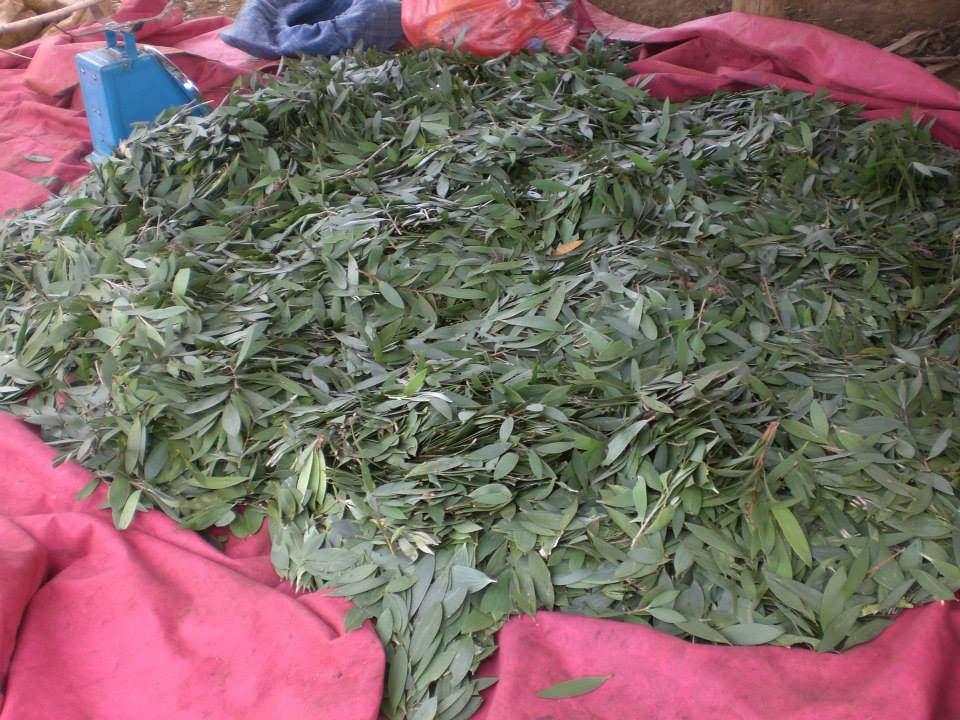 Le ravintsara l 39 essence de l 39 aromath rapie office national du tourisme de madagascar - Office national du tourisme madagascar ...