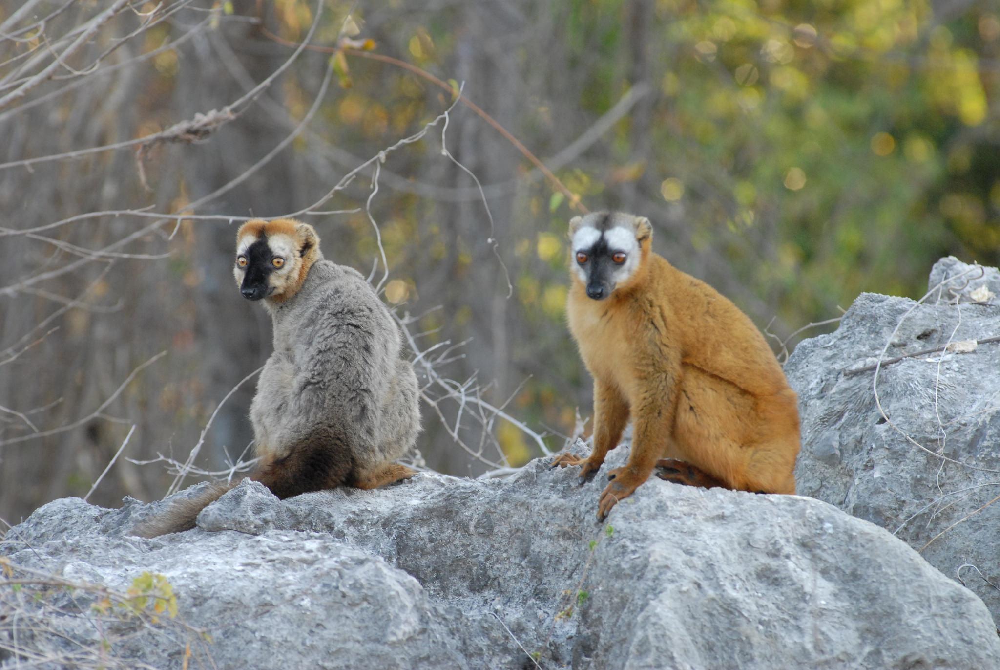 deux lémuriens assis madagascar