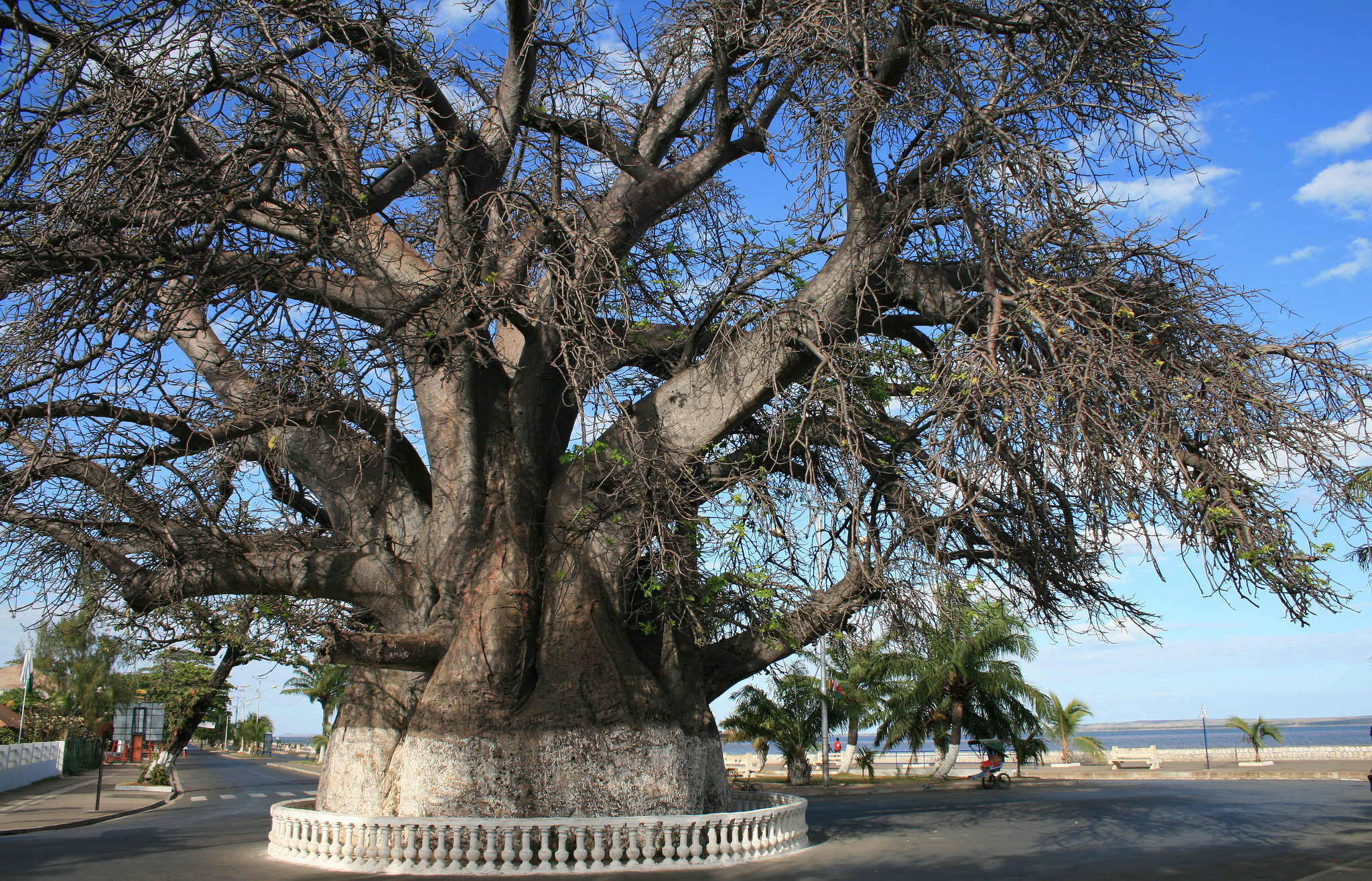 baobab majunga madagascar