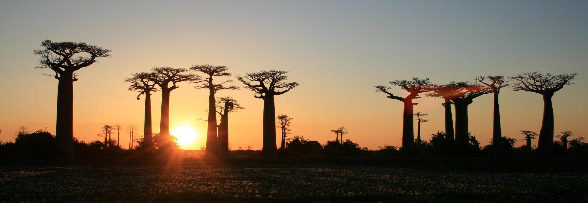 Le baobab l embl matique arbre malgache office national du tourisme de madagascar - Office national du tourisme madagascar ...