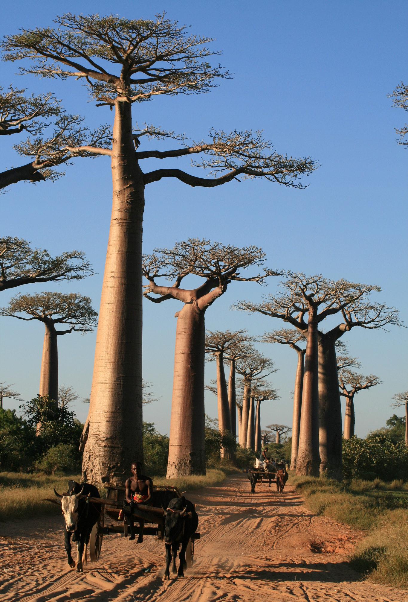 allée des baobabs madagascar