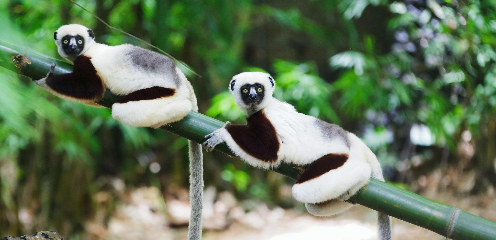 deux lémuriens sur une branche madagascar