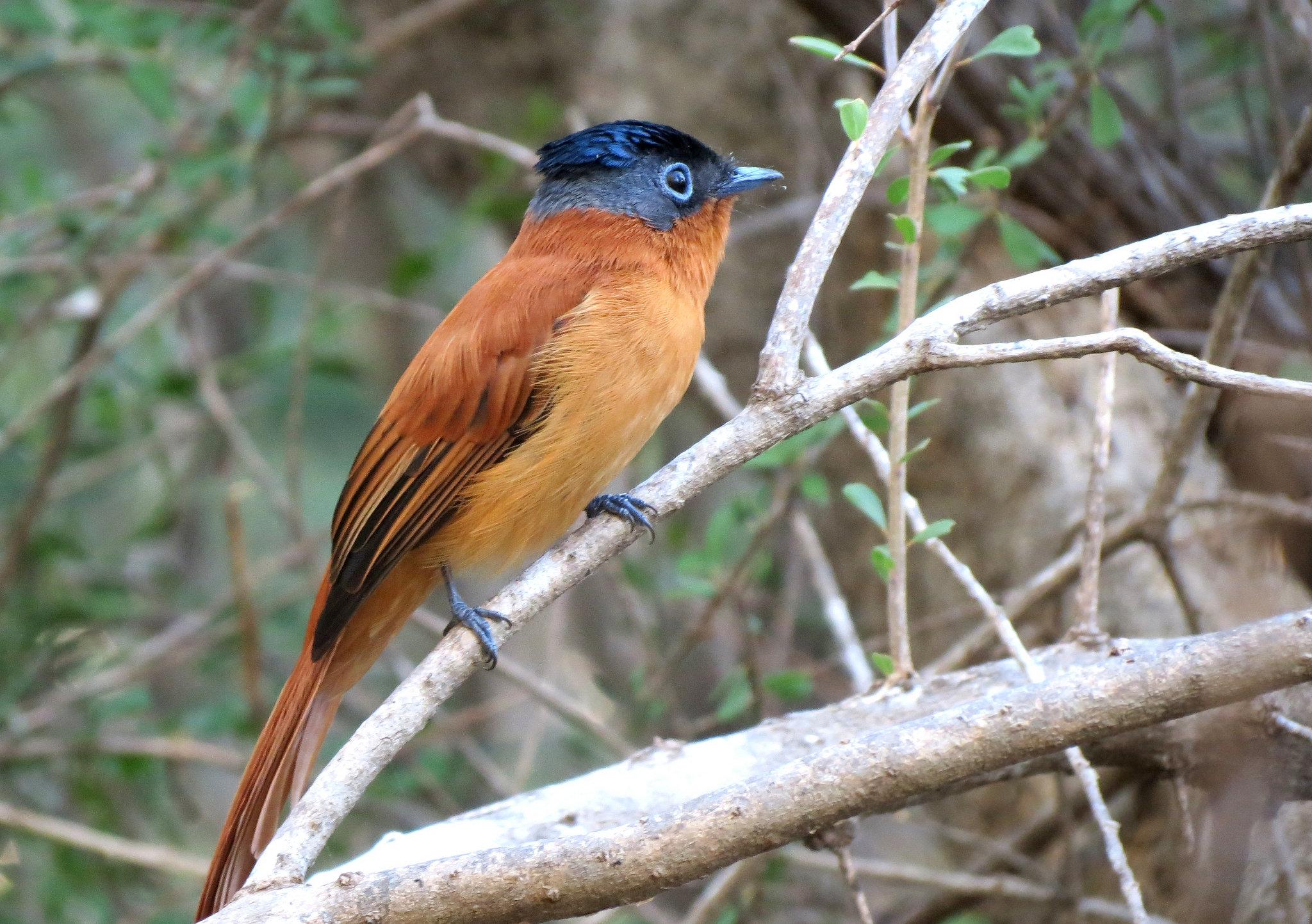 oiseau a tete bleue madagacar