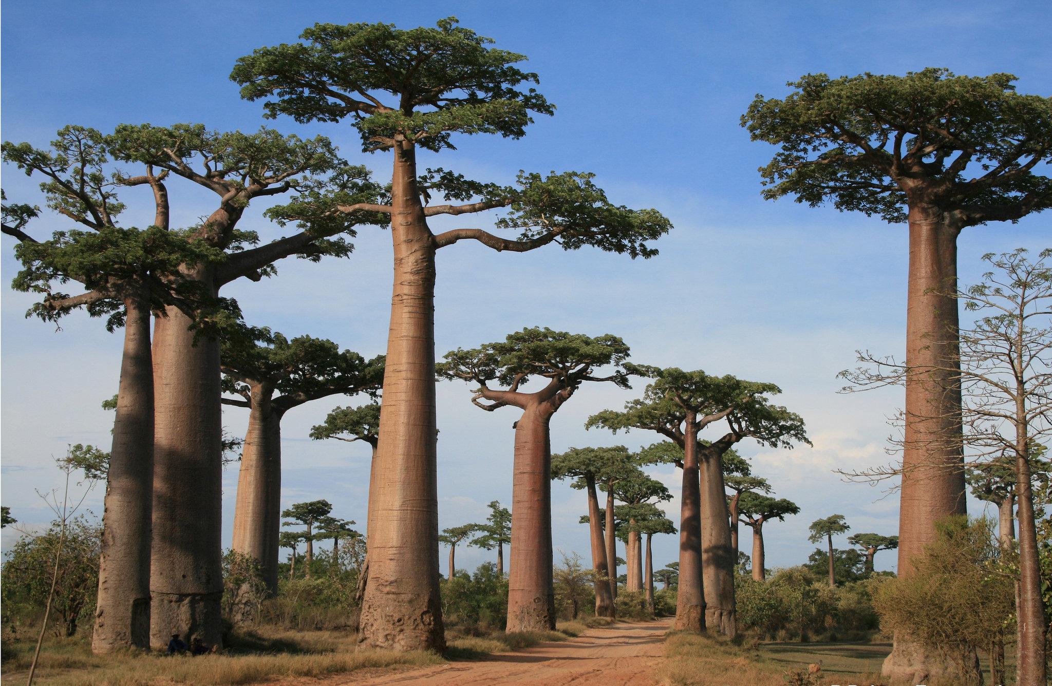 foret de baobabs morondava