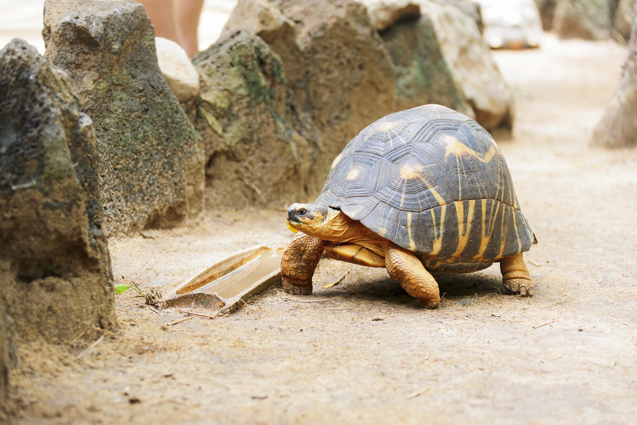 tortue étoilée madagascar