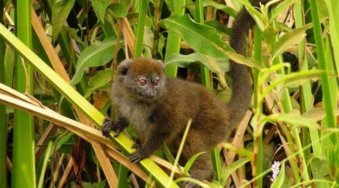 Madagascar: faites connaissance avec le BANDRO, lémurien aquatique ...